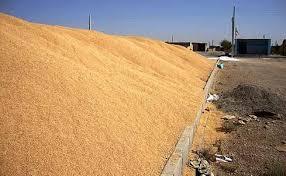 کشف گندم دو انبار بزرگ گندم تقلبی در بیله سوار و اردبیل
