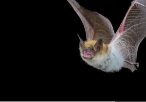 راسو یا خفاش؛ منشا ویروس کدام است؟